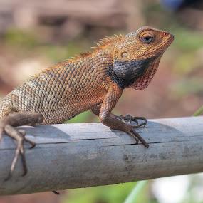 Iguanna by Husni Mubarok - Animals Reptiles