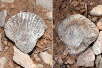 Photo: Geologia: Fòssil braquiòpode Rhynchonella sp.