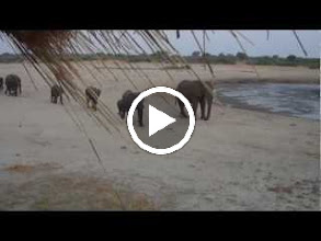 Video: A very long parade of elephants hurrying to the waterhole and some elephant trumpeting at the end
