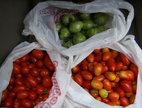 Photo: Bountiful tomatoes for food pantry, 6/3/10 (about 15 lb.)