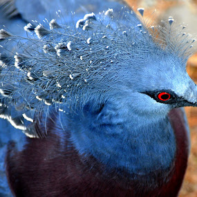 Victoria Crowned Pigeon by Emily Vickers - Animals Birds ( red eyes, blue, crown, victoria crowned pigeon, feathers, birds )