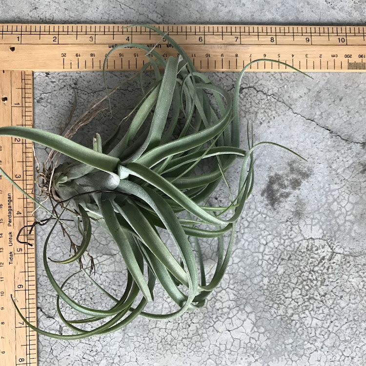 Air Plant - Streptophylla x Brachycaulos