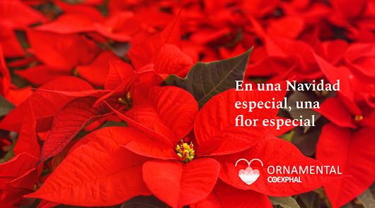 'En una Navidad especial, una flor especial'