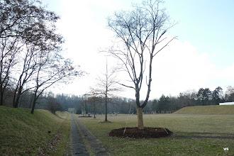 Photo: dornhaldenfriedhof / schlossgarten, ahorn?