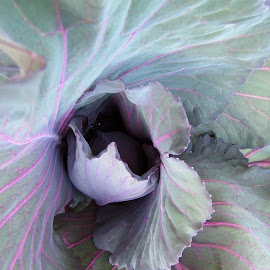 Red cabbage study by Tony Stuckey - Nature Up Close Gardens & Produce