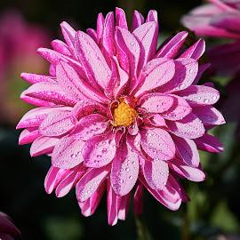 Dahlia 8590~ by Raphael RaCcoon - Flowers Single Flower