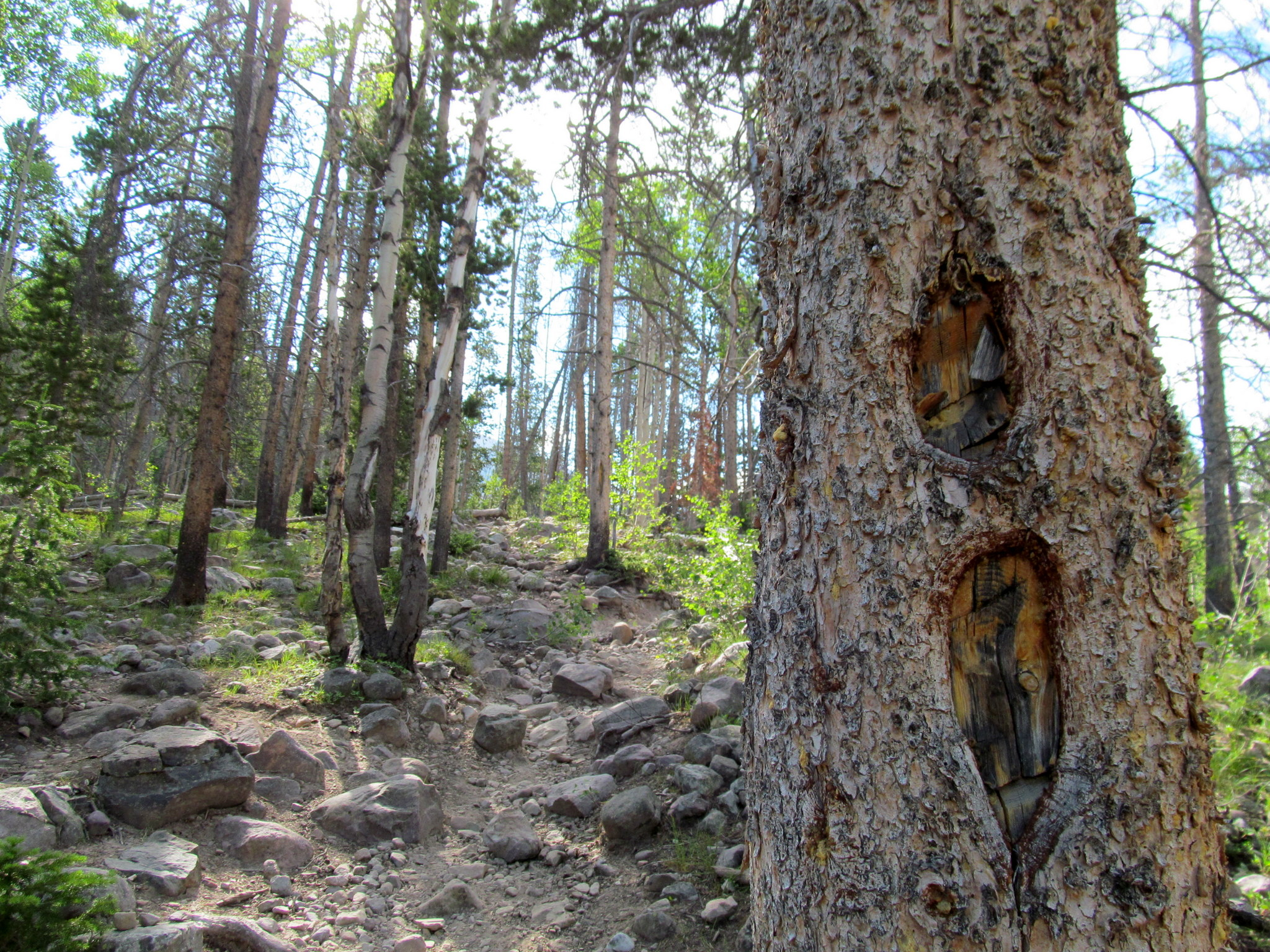 Photo: Blazed pine tree and steep, rocky trail
