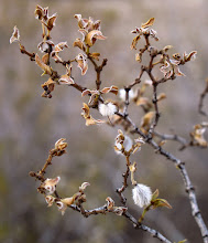 """Photo: A winter sight along many Arizona highways is the creosote bush, now withered and brown with bits of tiny and fluffy seed pods. Normally it is light to medium green with yellow flowers. It's a """"wonder"""" since some creosote bushes can survive up to 1,100 years! More information may be found on a nice Arizona plant ID website, linked below. #nature #naturephotography #arizona #plants  http://www.naturesongs.com/vvplants/creosote.html"""