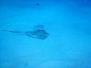 Photo: Stingray