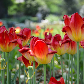 Melting Tulips by Ann Carper - Flowers Flower Gardens ( melting, sherwood gardens, tulips, flowers,  )