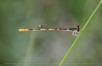 Photo: This Citrine Forktail damselfy is tiny, about an inch in length, but the bright yellow abdomen really stands out. The weather at the Bitter Lake Dragonfly Festival was not conducive to seeing very many odonates, but I did get a good number of species that I will post over the next week or so.  [update: My apologies for the inappropriate tags - G+ added those and I didn't realize until too late what it was doing and I haven't been able to figure out how to remove those after the fact.]  +BugsEverydayand late entry for +Macro Monday