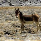 Kiang, Tibetan Wild Ass
