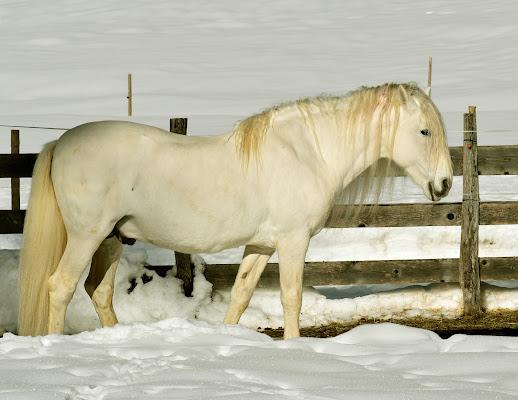 Un cavallo sulla neve di renzo brazzolotto