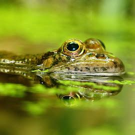Frog reflexion n00102 by Gérard CHATENET - Animals Amphibians