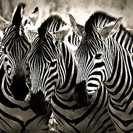 Three Sisters by Pieter J de Villiers - Black & White Animals
