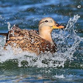 00 Duck 99928~ by Raphael RaCcoon - Animals Birds
