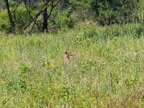 Photo: Early sighting, a cheetah!