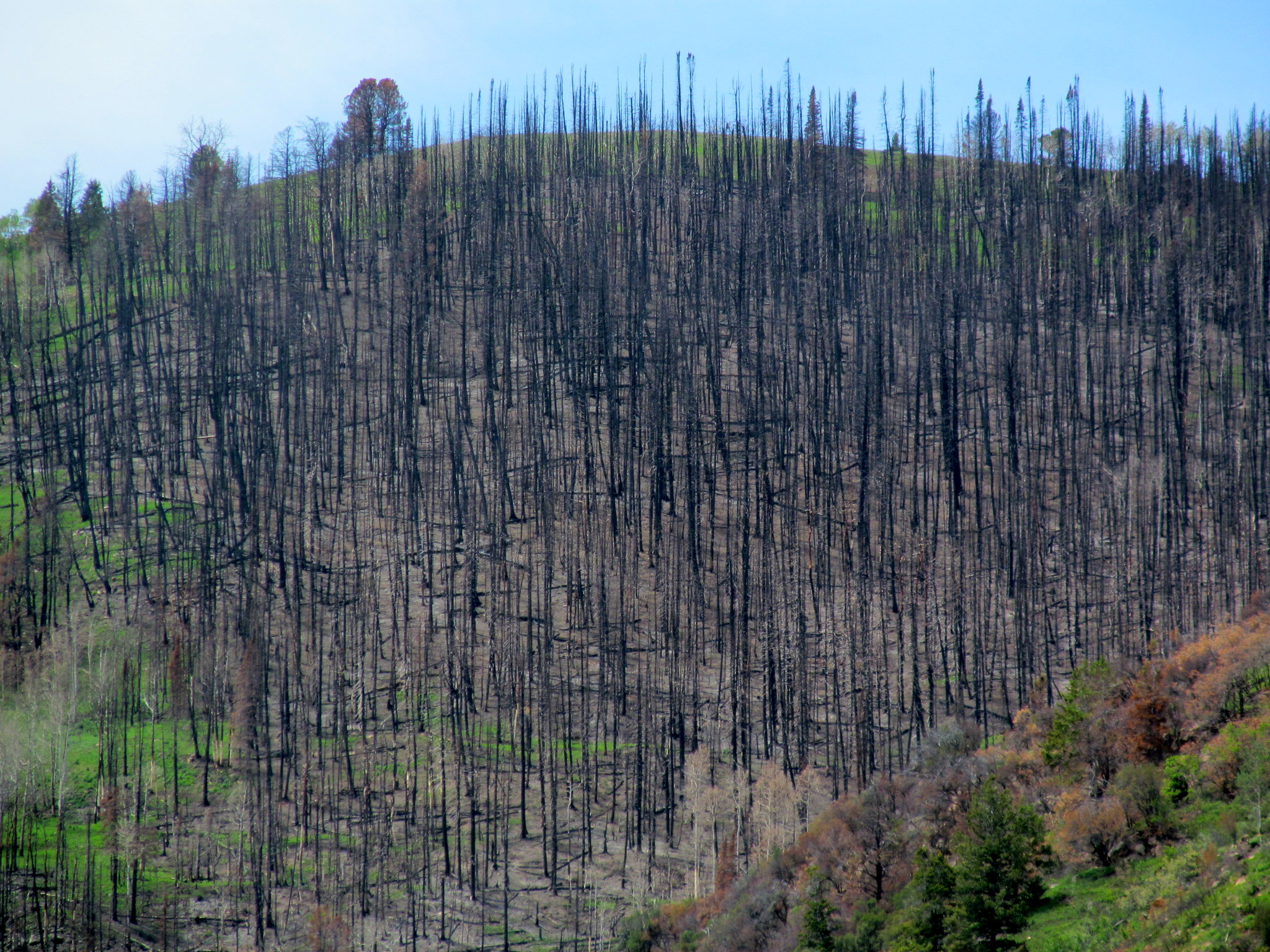 Photo: Burned pines on Lowry Top