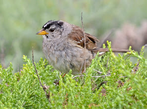 Photo: 101. I believe this is a white-crowned sparrow.