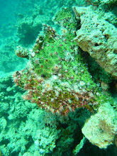 Photo: #021-Antennaire ou Frogfish