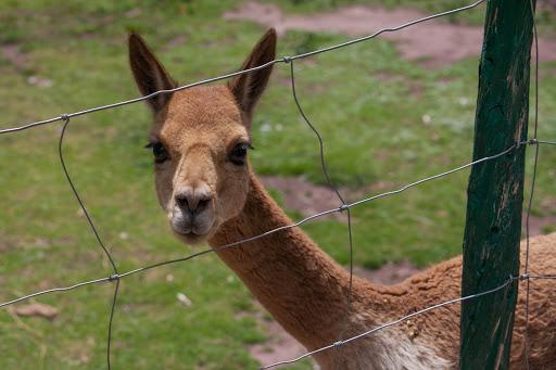 vicuna.jpg - A vicuna at the Cochahuasi Animal Sanctuary, a family-run organization in Cusco, Peru.