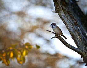 Photo: Bird N°38 Tree Sparrow; Passer montanus  Tree Sparrow is 5–5½ in long, with a wingspan of about 8.25 in and a weight of 0.86 oz making it roughly 10% smaller than the House Sparrow. The adult's crown and nape are rich chestnut, and there is a kidney-shaped black ear patch on each pure white cheek; the chin, throat, and the area between the bill and throat are black. Theupper partsare light brown, streaked with black, and the brown wings have two distinct narrow white bars. The legs are pale brown, and the bill is lead-blue in summer, becoming almost black in winter. This sparrow is distinctive even within its genus in that it has no plumage differences between the sexes; the juvenile also resembles the adult, although the colours tend to be duller. Its contrasting face pattern makes this species easily identifiable in all plumages; the smaller size and brown, not grey, crown are additional differences from the male House Sparrow. When the Tree Sparrow and the larger House Sparrow occur in the same area, the House Sparrow generally breeds in urban areas while the smaller Eurasian Tree Sparrow nests in the countryside and canfrequently found on coasts with cliffs, in empty buildings, in pollarded willows along slow water courses, or in open countryside with small isolated patches of woodland. The Tree Sparrow shows a strong preference for nest-sites near wetland habitats, and avoids breeding on intensively managed mixed farmland.  Breeding Tree Sparrow reaches breeding maturity within a year from hatching, and typically builds its nest in a cavity in an old tree or rock face. Pairs may breed in isolation or in loose colonies and will readily use nest boxes.The untidy nest is composed of hay, grass, wool or other material and lined with feathers, which improve the thermal insulation. A complete nest consists of three layers; base, lining and dome. The typical clutch is five or six eggs, white to pale grey and heavily marked with spots, small blotches, or speckli