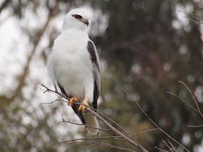 Photo: Black-shouldered Kite