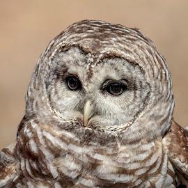 Barred Owl by Debbie Quick - Animals Birds ( barred owl, raptor, birds of prey, debbie quick, outdoors, owl, nature, bird, animal, wild, debs creative images, wildlife )