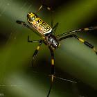 Golden Orbweaver or Banana Spider
