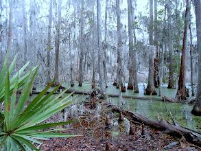 Photo: Cypress Swamp, San Felasco
