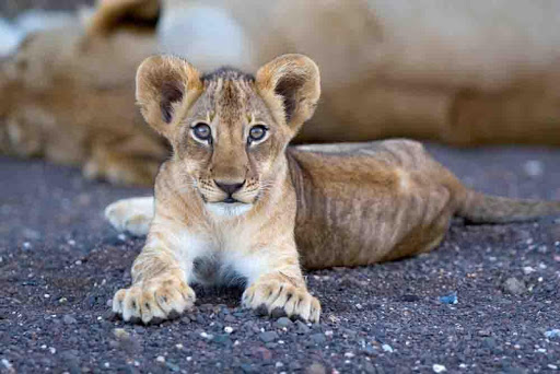 Baby Lion Wallpapers Free