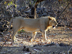 Photo: The Lions of Gir Forest are emblematic of Gujarat - last bastion of the Asiatic Lion