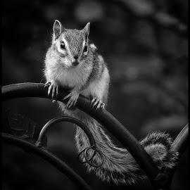 Chipmunk by Dave Lipchen - Black & White Animals ( chipmunk )