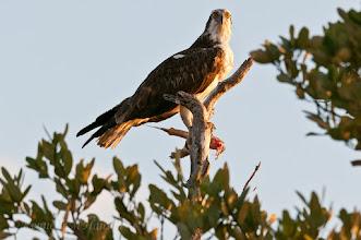Photo: Osprey catching the last rays before sundown