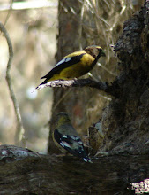 Photo: Male and female Evening Grosbeak