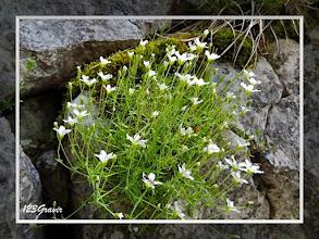 Photo: Sabline à grandes fleurs (Arenaria grandiflora) à la Cave noire