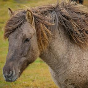 Icelandic Portrait by Rashid Ramdan - Animals Horses ( iceland, horse, travel, portrait, photography, animal,  )
