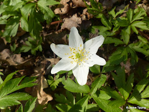Photo: The first of the Wood Anemones are showing themselves - soon there will be carpets on display