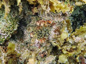 Photo: Mushroom Anemones, Sand Island, Palawan, Philippines.