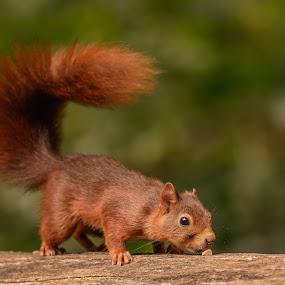 Squirrel by Avtar Singh - Animals Other ( squrieel )