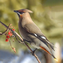 Bohemian Waxwing by Patricia Phillips - Animals Birds ( alaska birds waxwings mountain alsh berries )