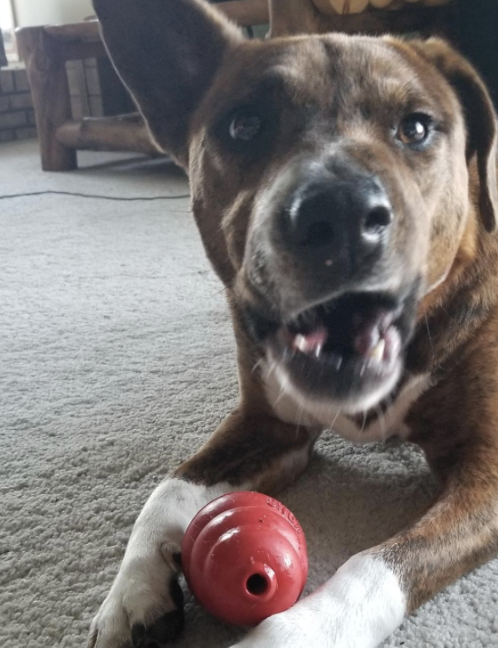 Happy brown dog playing with a KONG while laying down