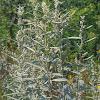 Prairie Sagebrush