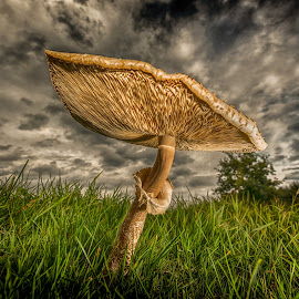 Parasol fungus by Egon Zitter - Nature Up Close Mushrooms & Fungi ( clouds, sky, autumn, sunset, fall, parasol, toadstool, fungus )