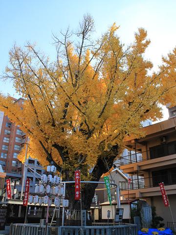 櫛田神社 ぎんなんの木