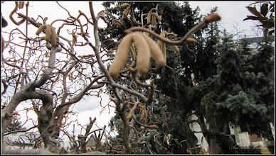 Photo: Alun ornamental (Corylus avellana 'Contorta)  - parcul din fata cladirii primariei - 2017.02.24