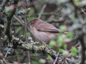 Photo: Priorslee Lake Chiffchaff: note in particular the indistinct supercilium, the dark legs and the contrasting black alula (the feather at the bend of the folded wing). (Ed Wilson)