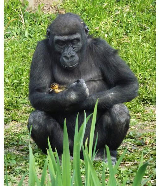Photo: Горилла гладит утенка, отбившегося от стаи из соседнего озера в бристольском зоопарке. Вскоре утенок успешно добрался к маме. (NOBLE/DRAPER)