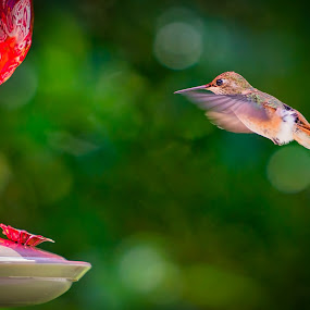 Hummingbird at backyard feeder by Scott Wood - Animals Birds ( bird, washington, nature, hummingbird, green, feeding, wildlife, summer, feather, animal )