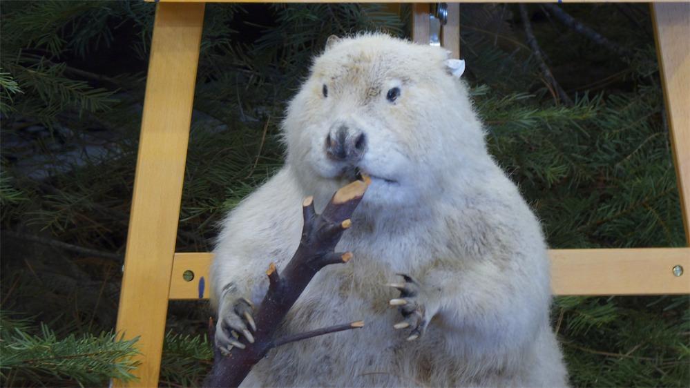 White Beaver.jpg